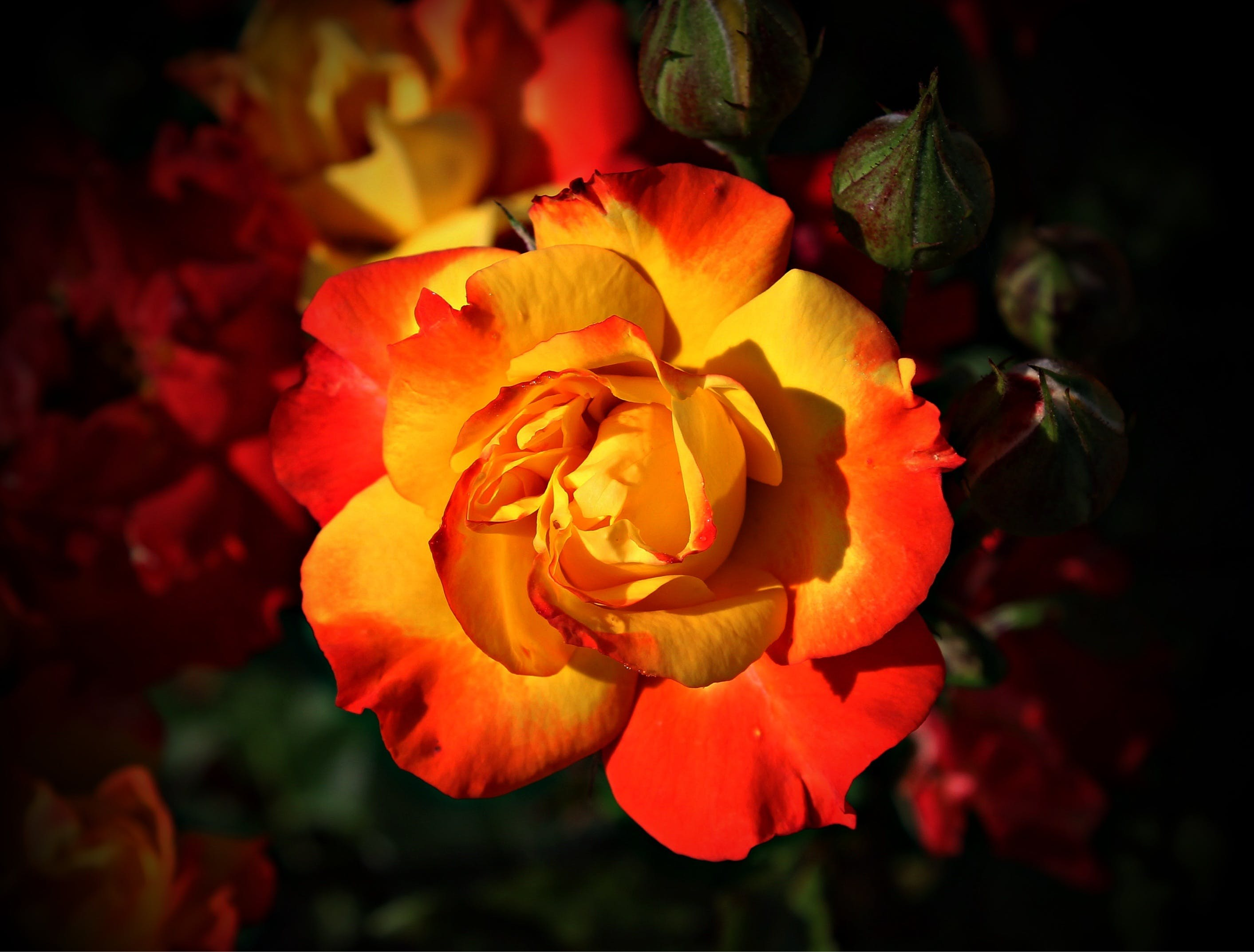 Focus Photography of Yellow and Orange Petaled Flower