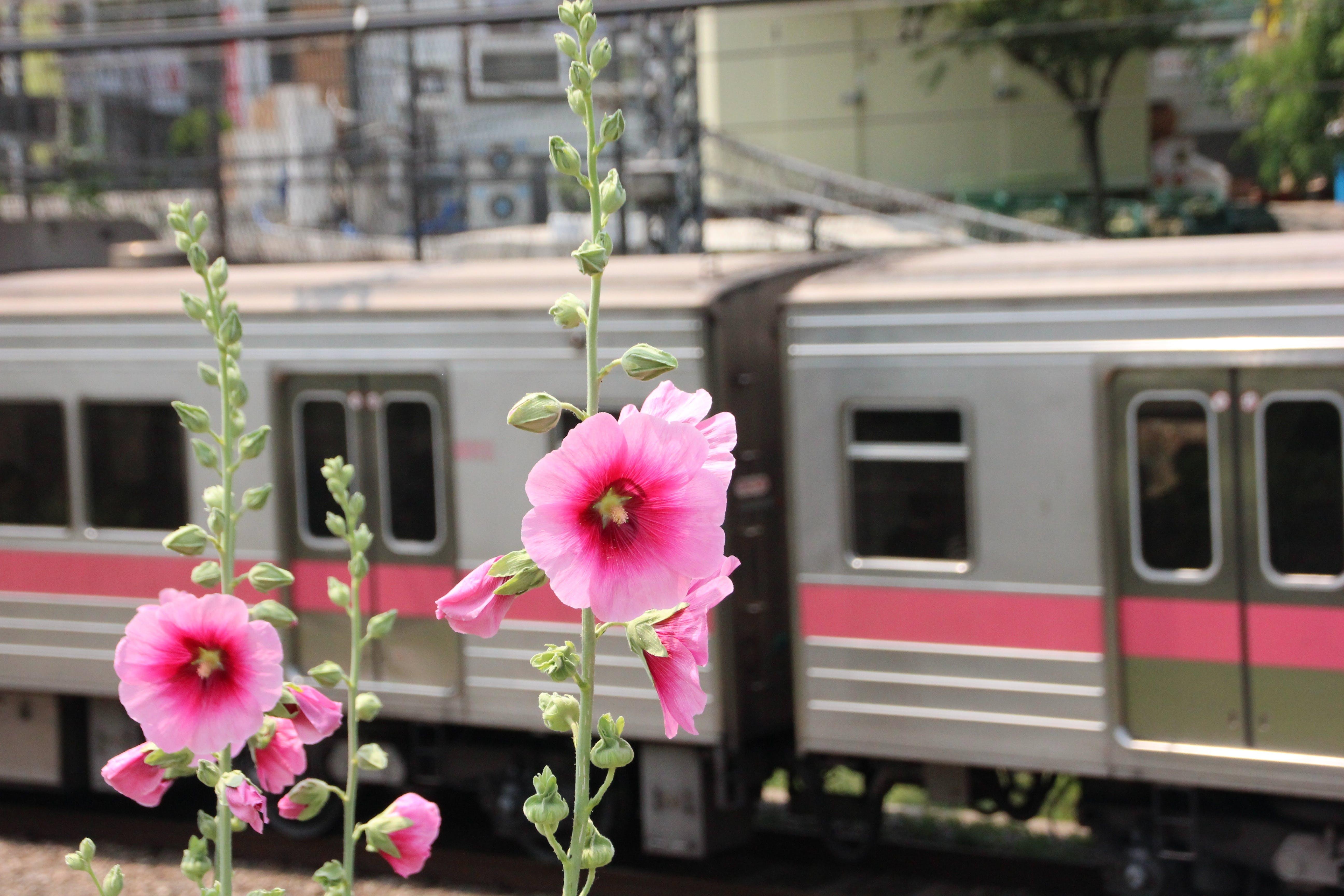 Free stock photo of flowers, train, flower, passenger