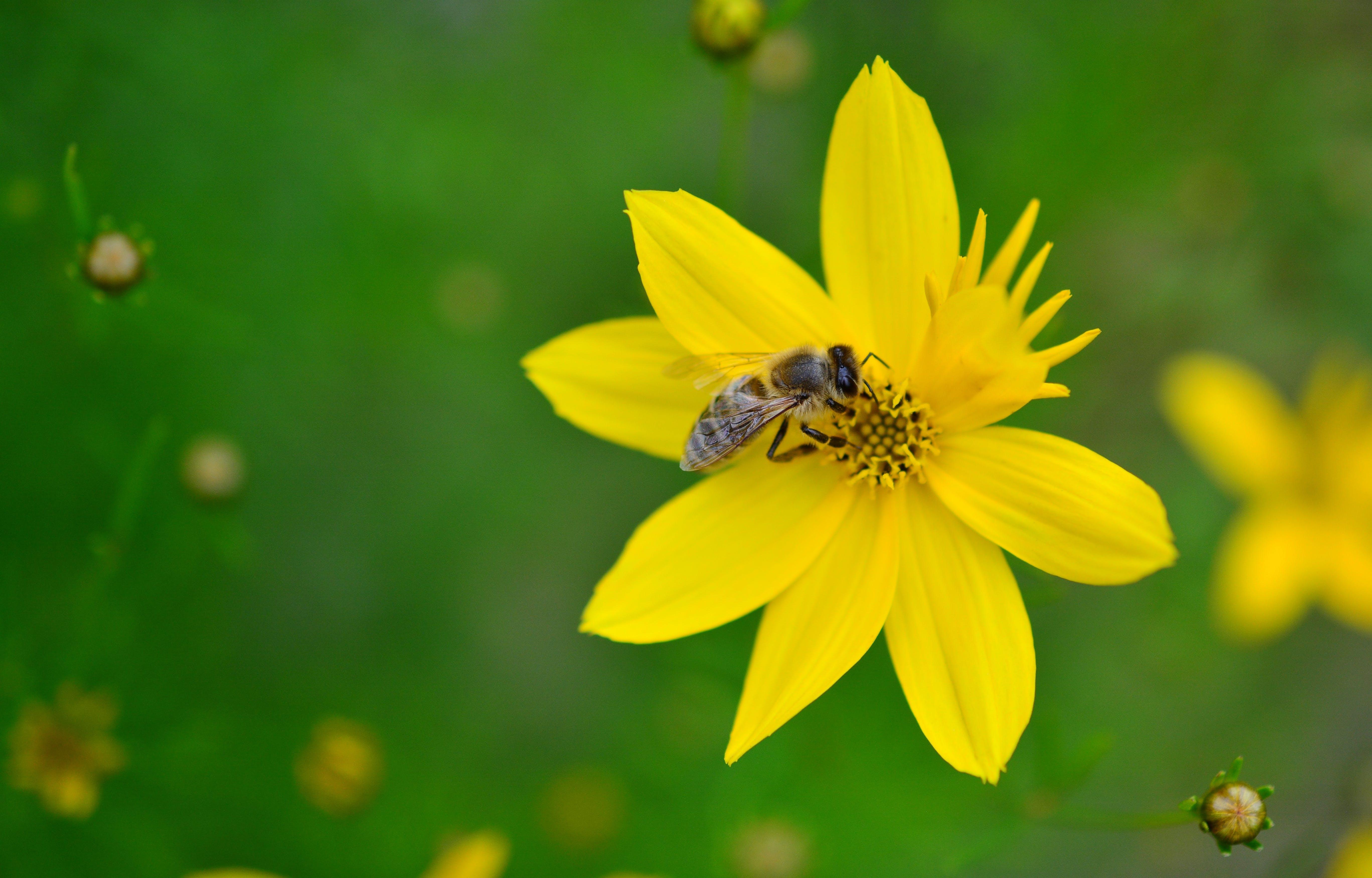 Free stock photo of garden, yellow, flower, bee