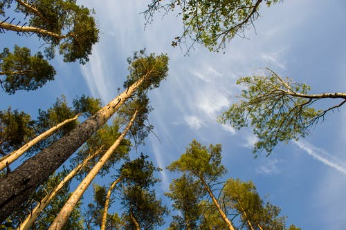 Worm's-Eye View Shot of Tall Trees