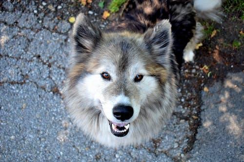 Бесплатное стоковое фото с волк, глаза, дикая природа, домашний