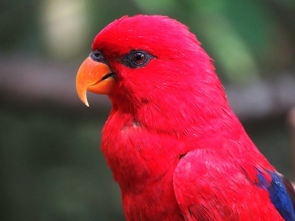 Selective Focus Photography of Red Parrot