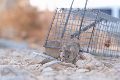 Close-Up Shot of a Small Mouse Escaping From a Trap
