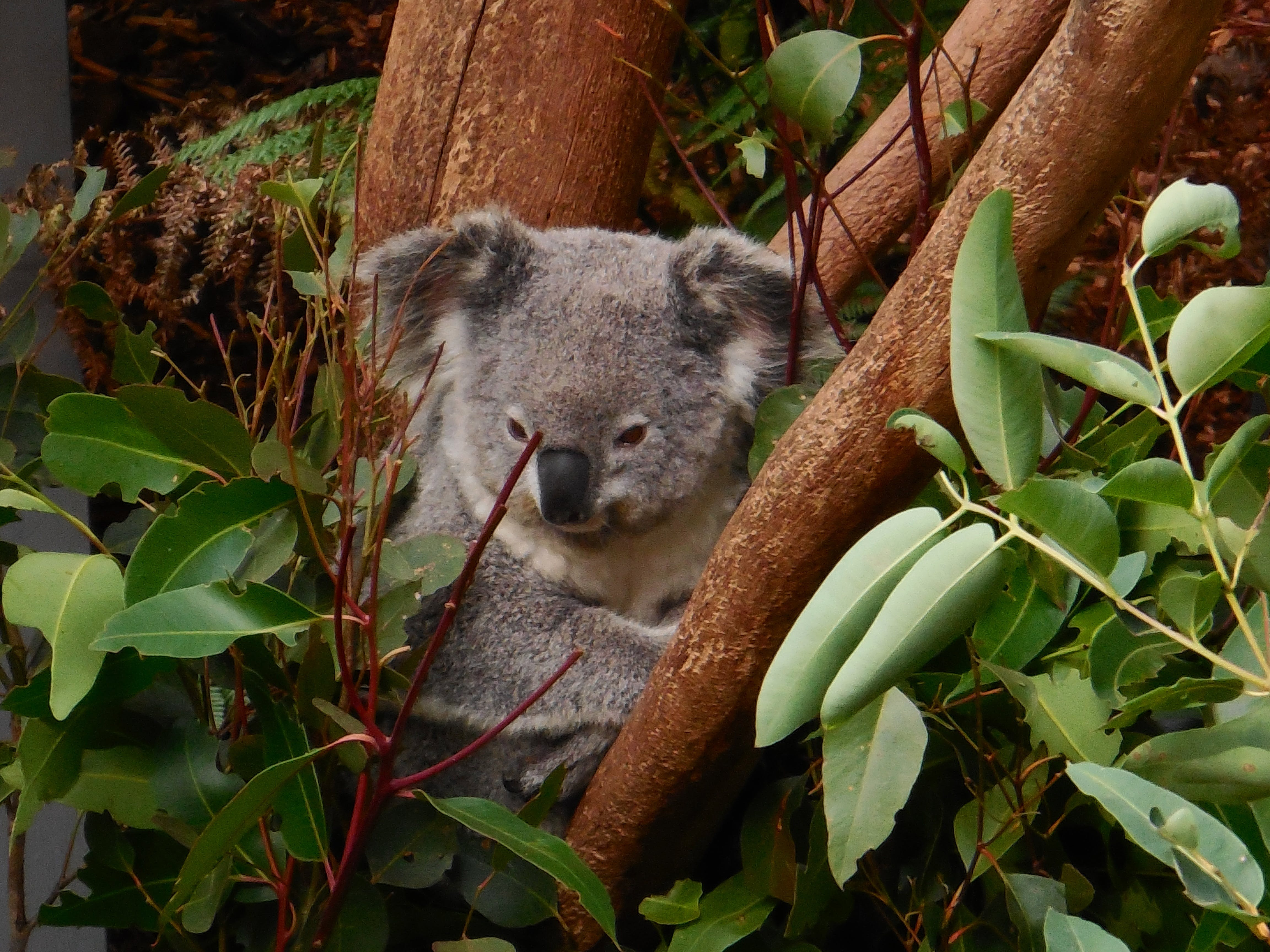 Gray Koala on Tree Branch Digital Wallpaper