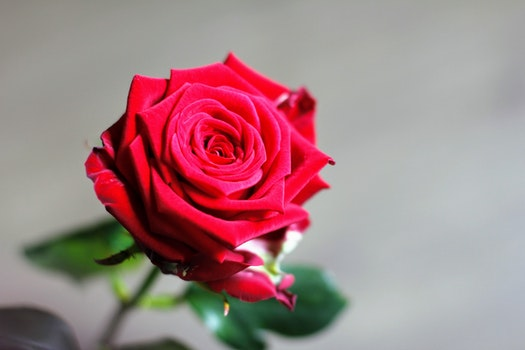 Free stock photo of petals, blur, flower, macro