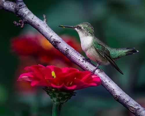 Tiny hummingbird sitting on twig of tree near blooming Zinnia flowers