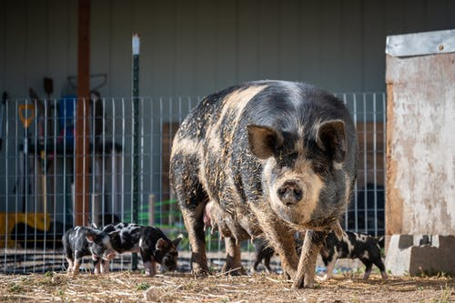 Domestic pig with little piglets standing near metal fence on ranch with building  on background in sunny weather