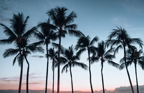 Tropical palm trees against clear sunset sky