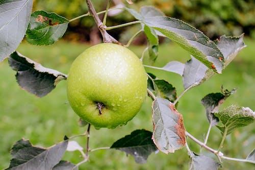 Green Apple Fruit on the Tree