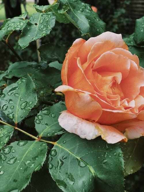 Ảnh lưu trữ miễn phí về cánh hoa, đẹp, hạt mưa, hệ thực vật