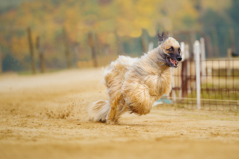 Free stock photo of action, afghan, afghan hound, animal