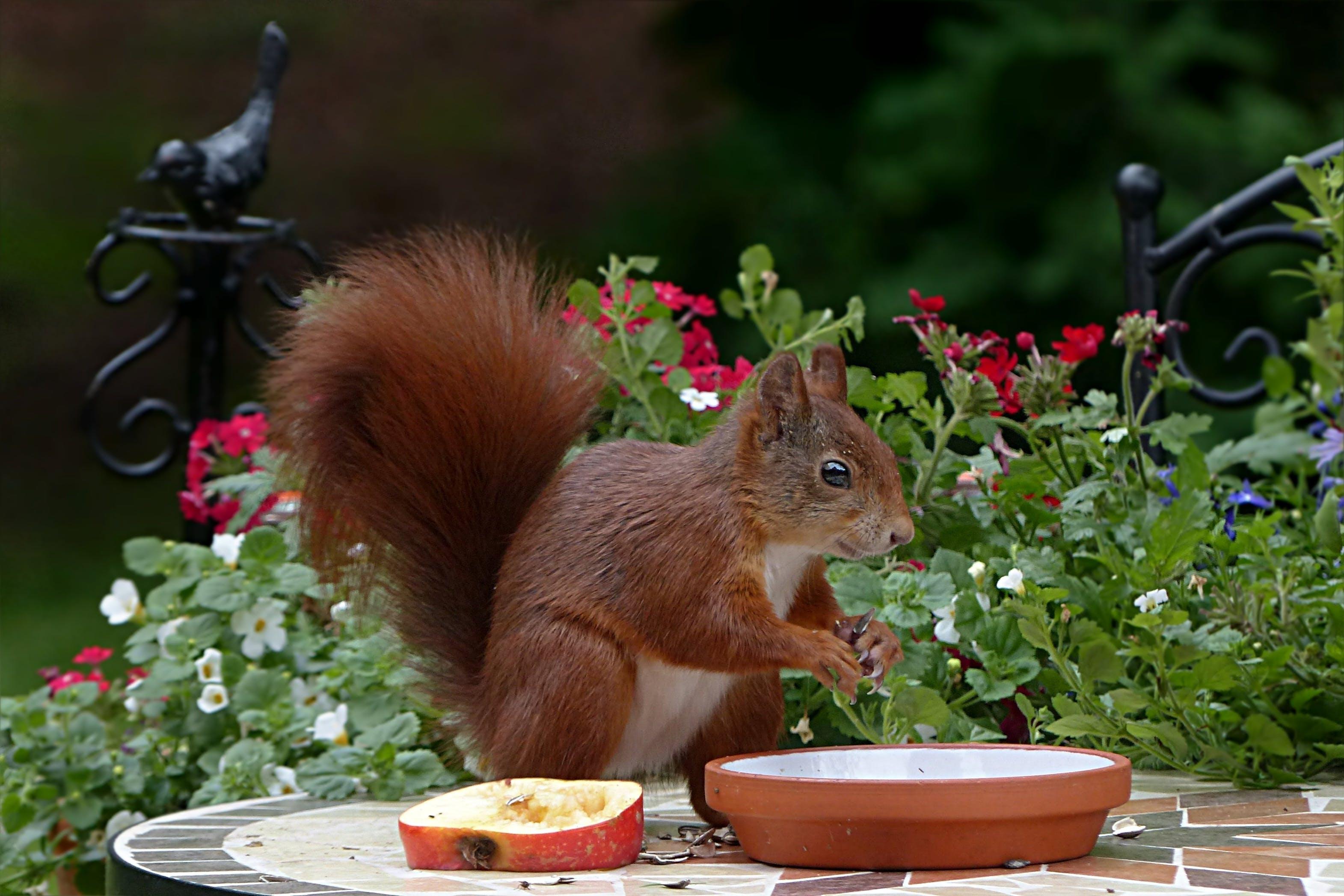 Free stock photo of apple, garden, animal, squirrel