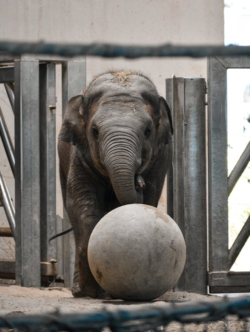 Elephant Drinking Water from a Ball