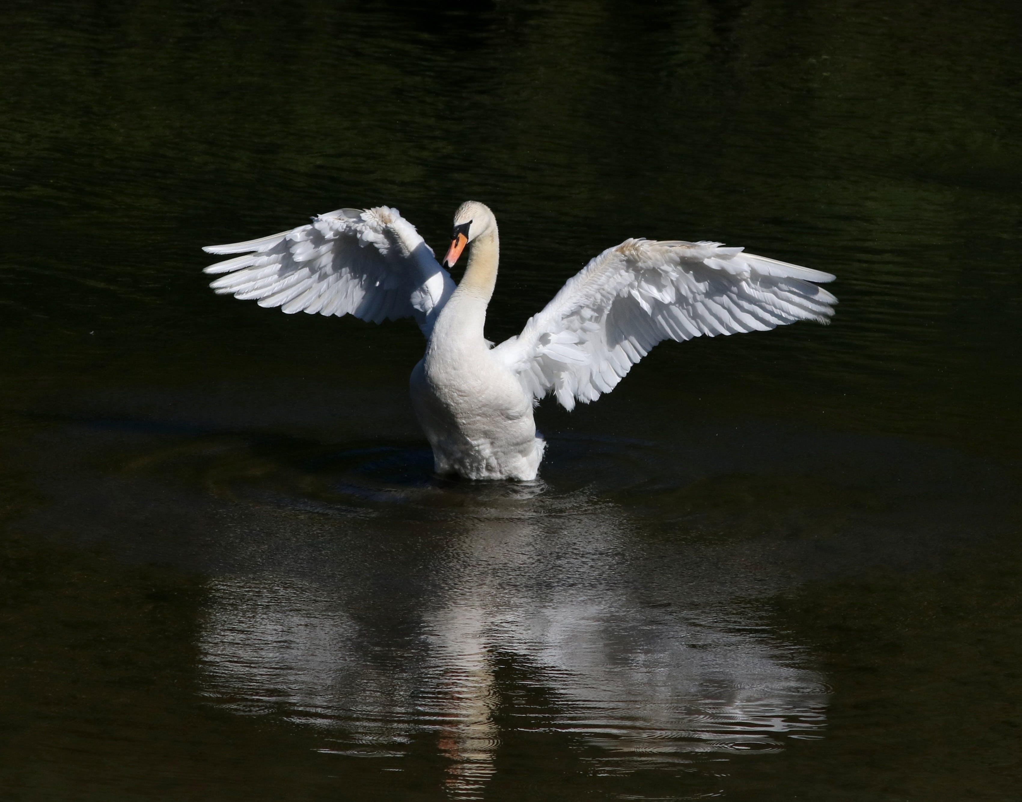 Free stock photo of bird, fowl, mute swan, swan