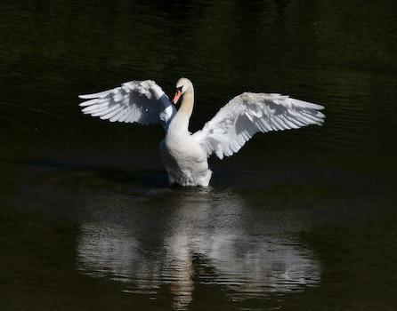Free stock photo of bird, white, swan, fowl