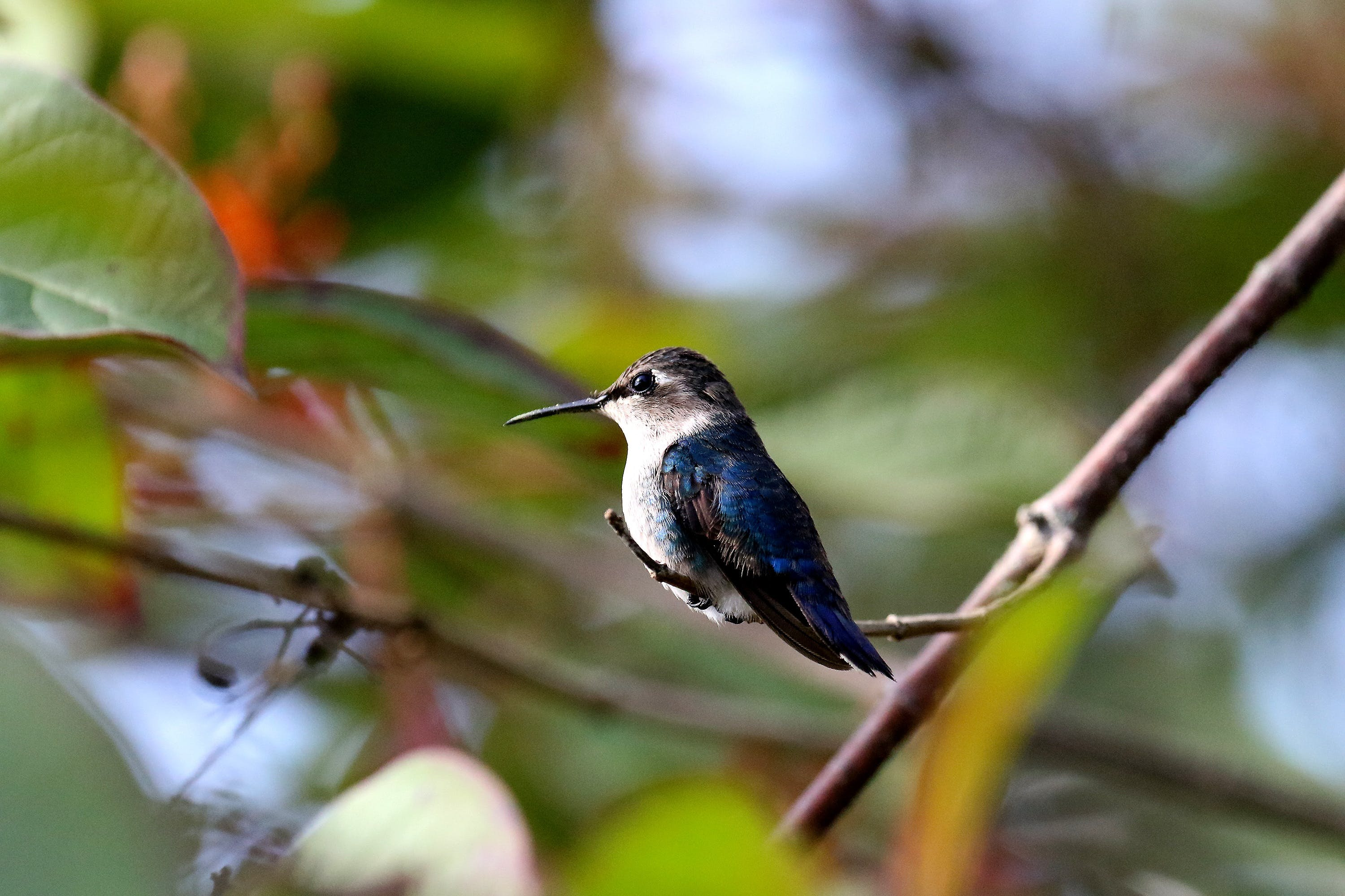 Blue and Black Bird Perched on Tree Branch