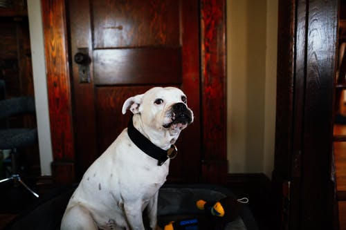 Cute obedient white purebred dog looking away while sitting in house near wooden door