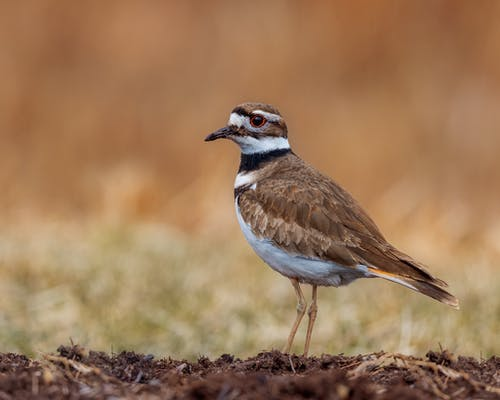 Killdeer with ornamental plumage on dry terrain