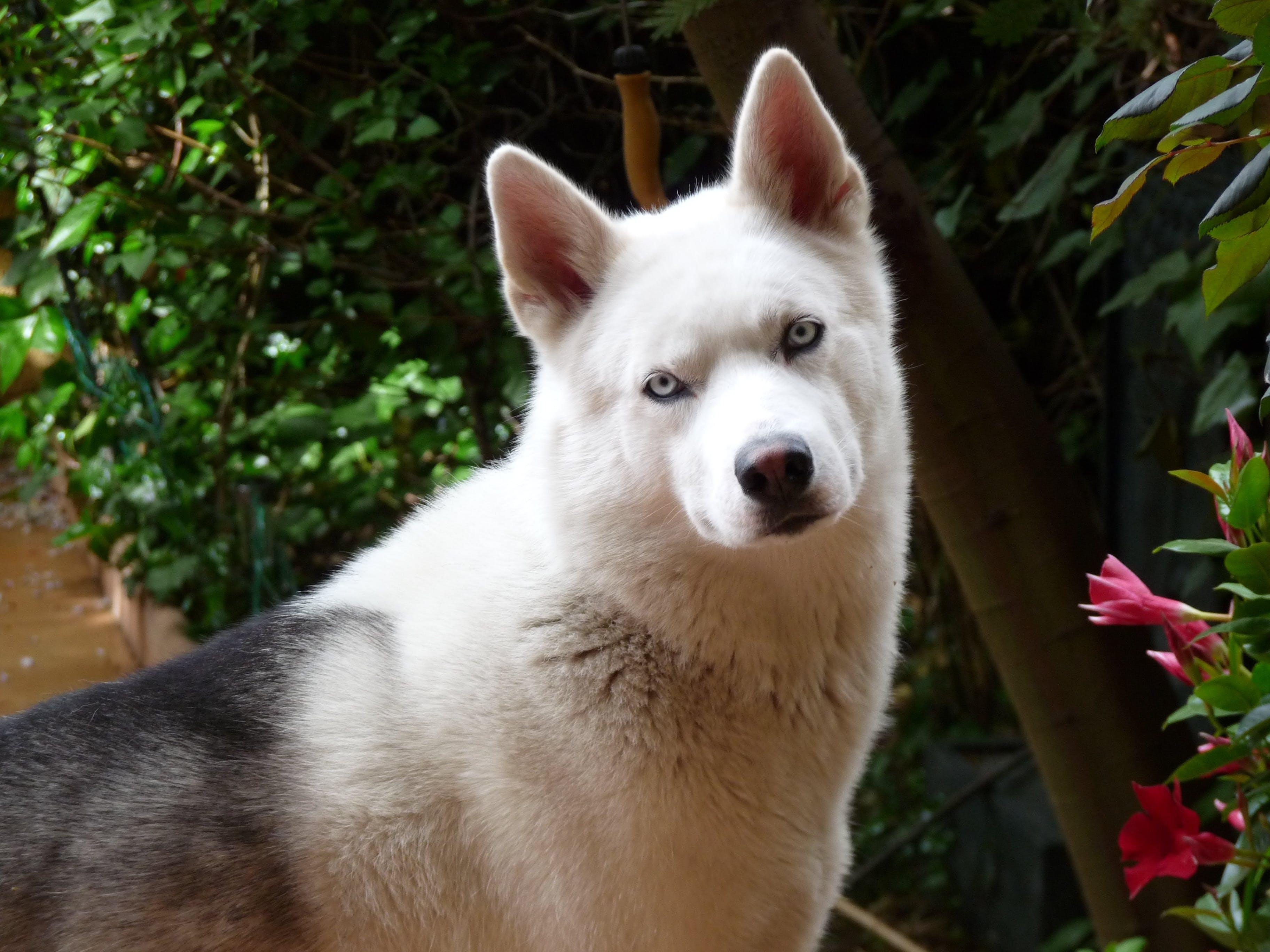 Free stock photo of dog, pets, husky