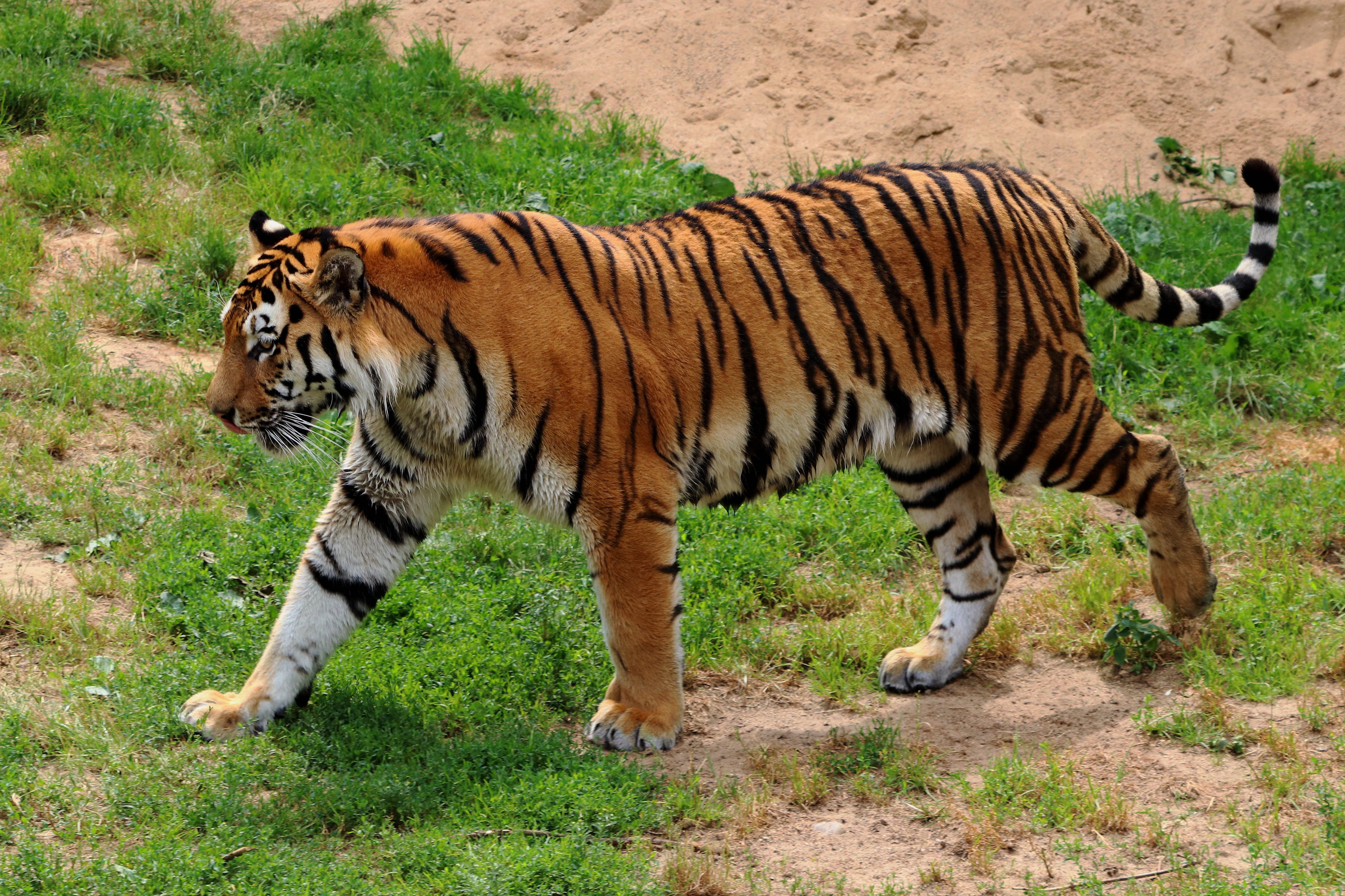 amur tiger, angry, animal