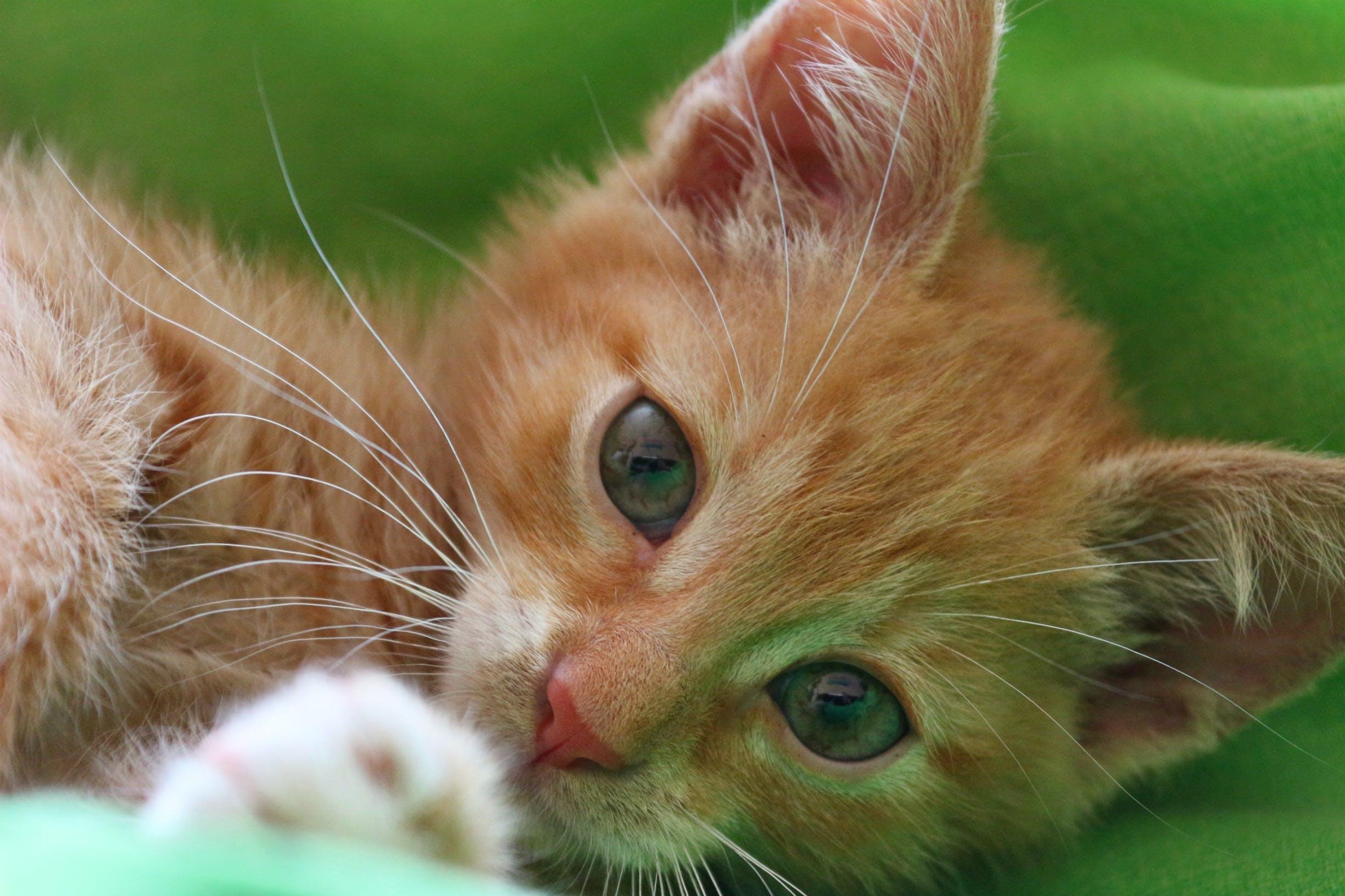 Free stock photo of animal, cat, tender