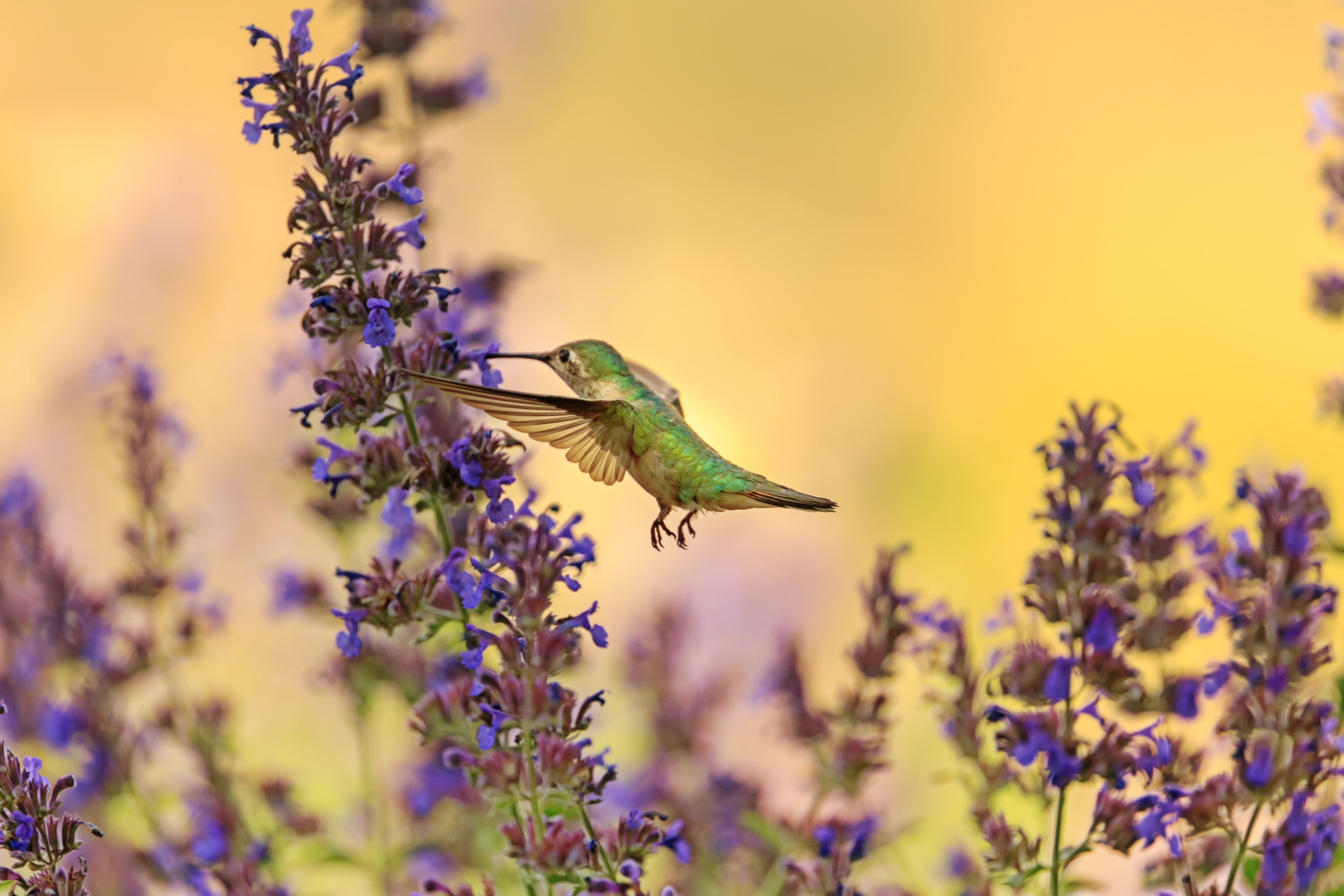 Green Hummingbird Flying Near at Lavender Flower