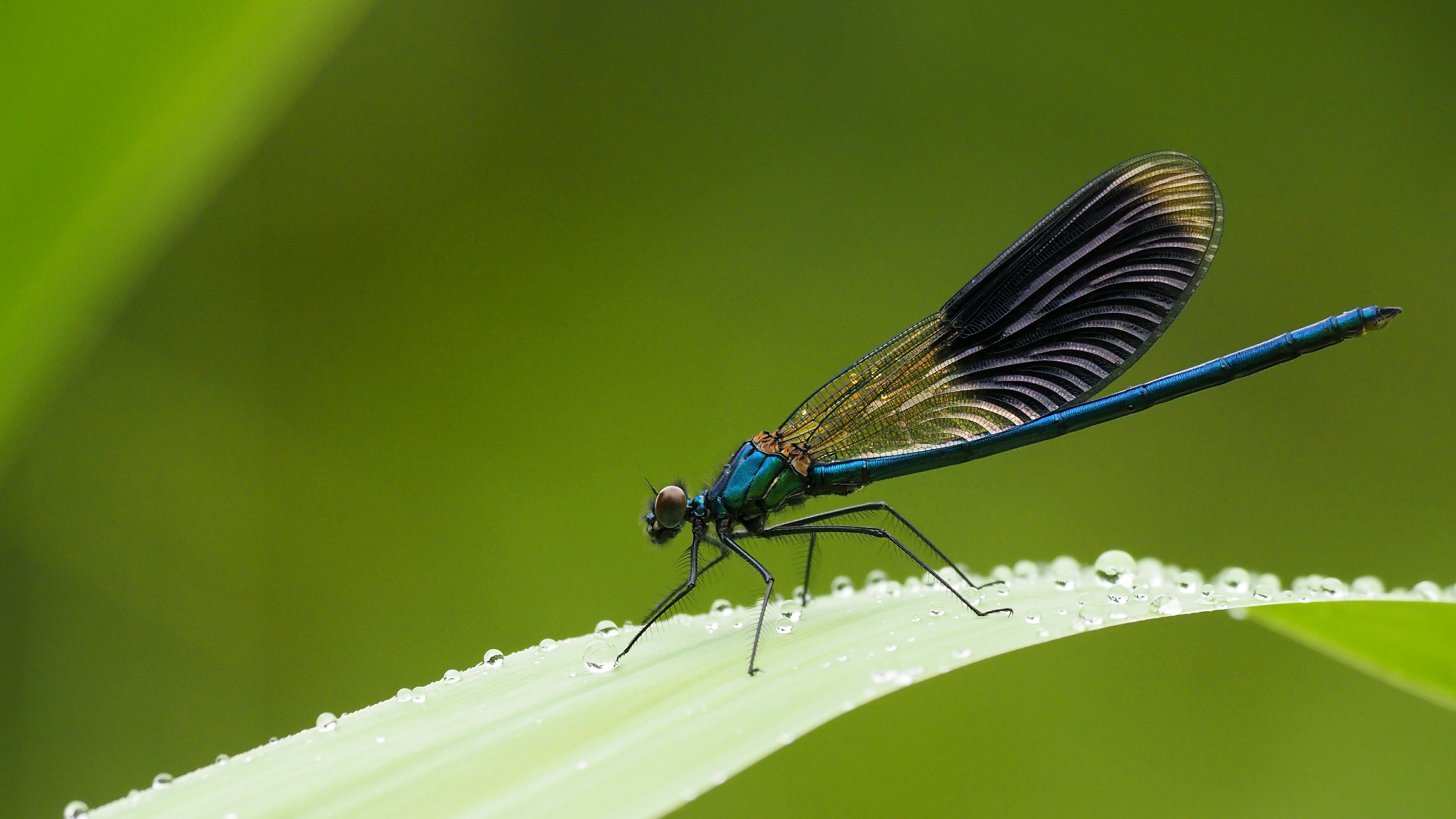 Macro Photography of Beautiful Blue Demoiselle Perching on Leaf