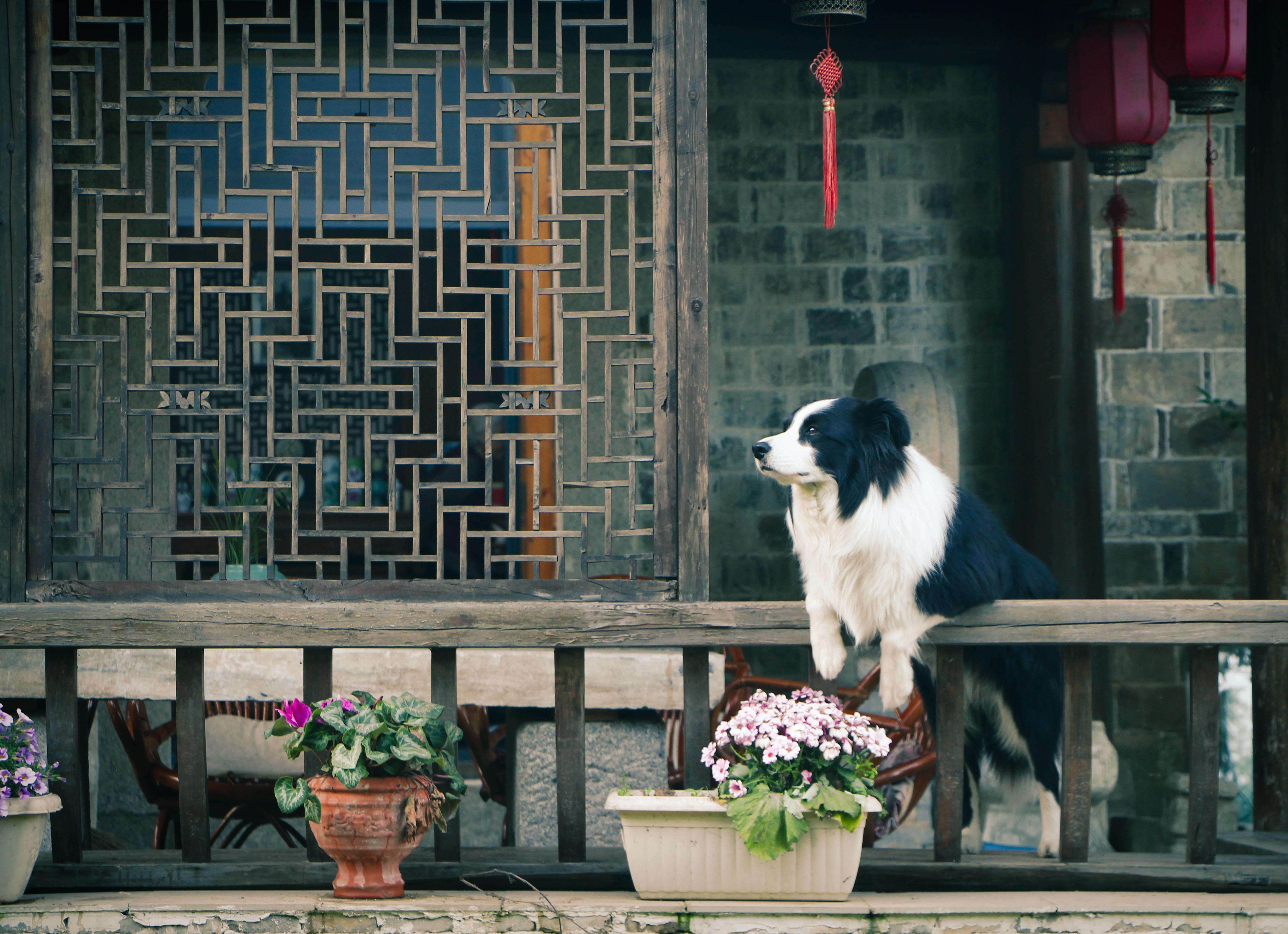 Free stock photo of flowers, house, dog, window