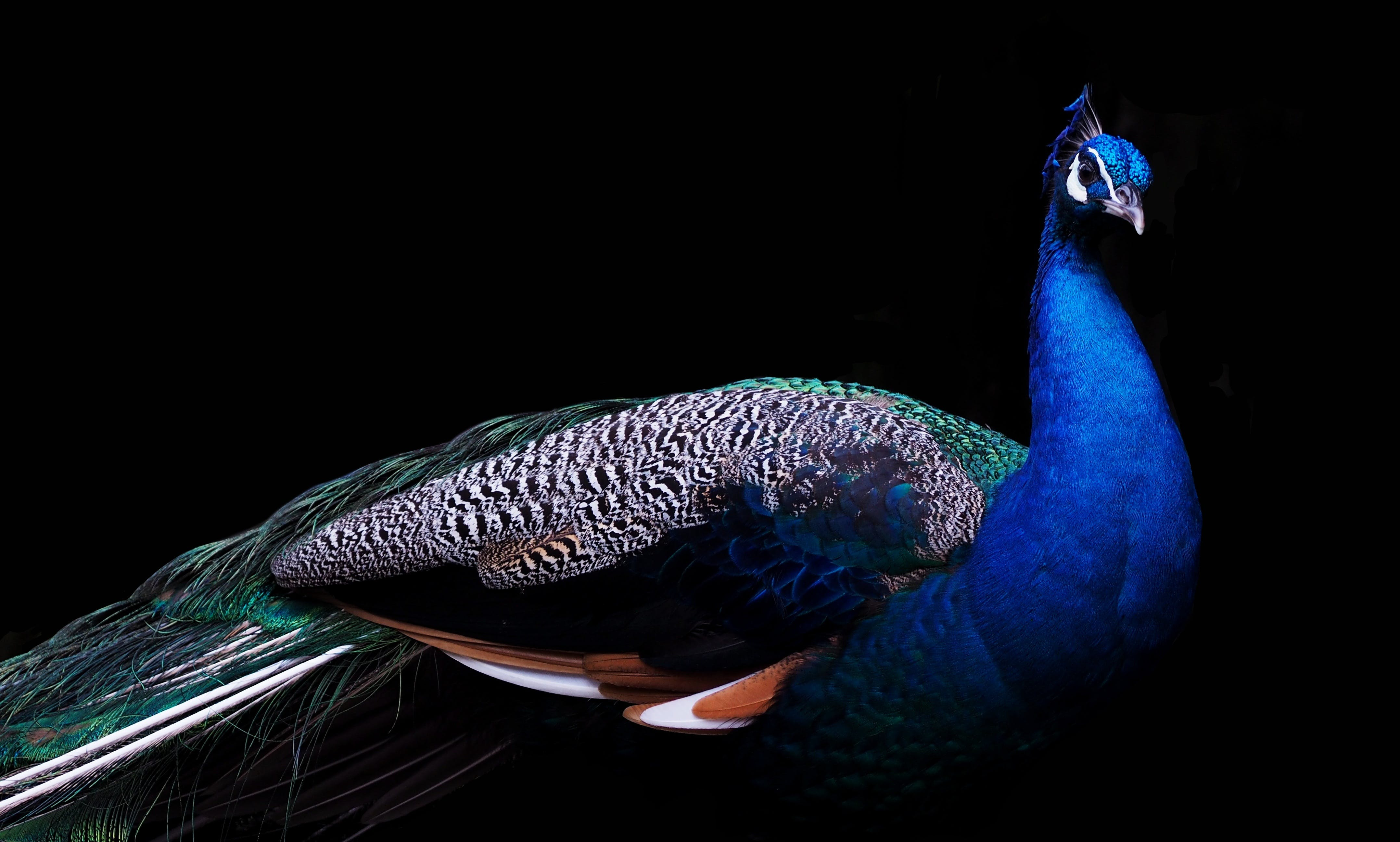 Blue and Brown Peacock
