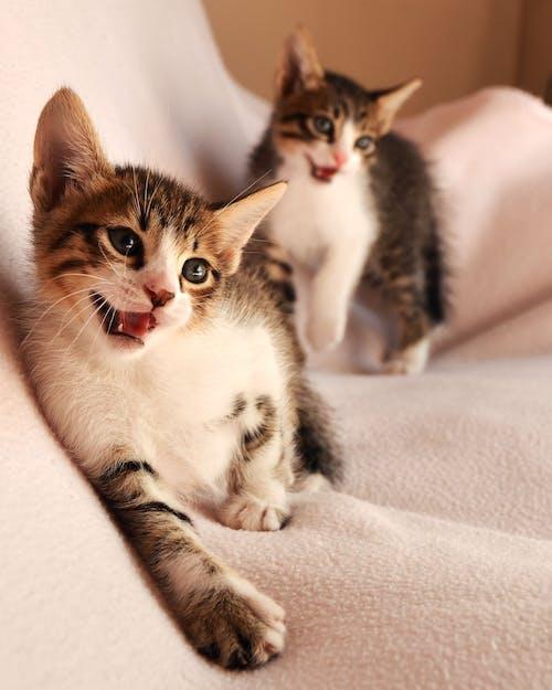 Foto d'estoc gratuïta de animals, bigotis, buscant, cara de gat