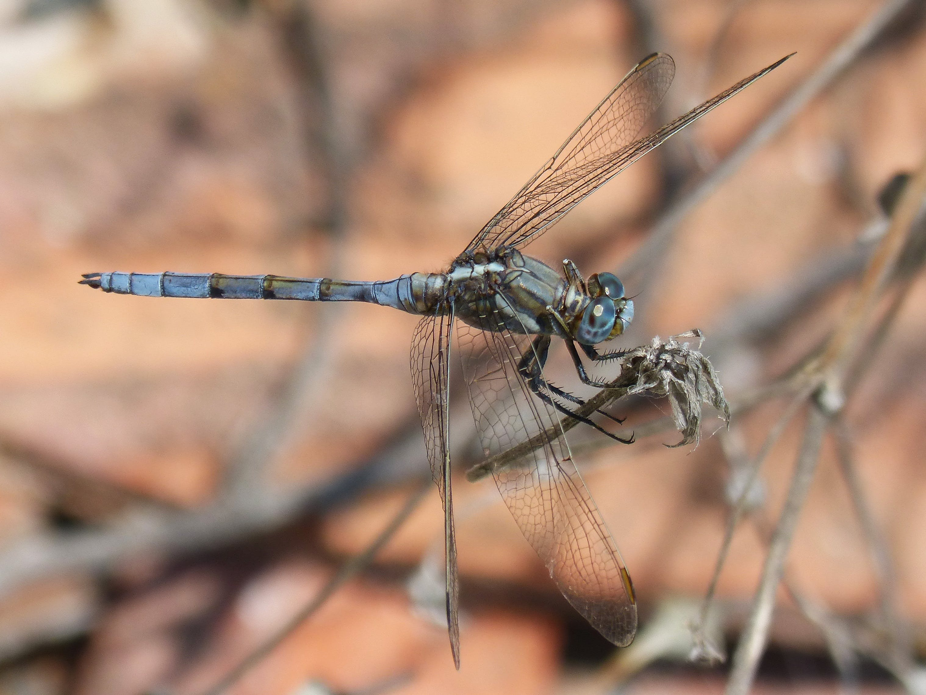 Free stock photo of dragonfly, branch, blue dragonfly, flying insect