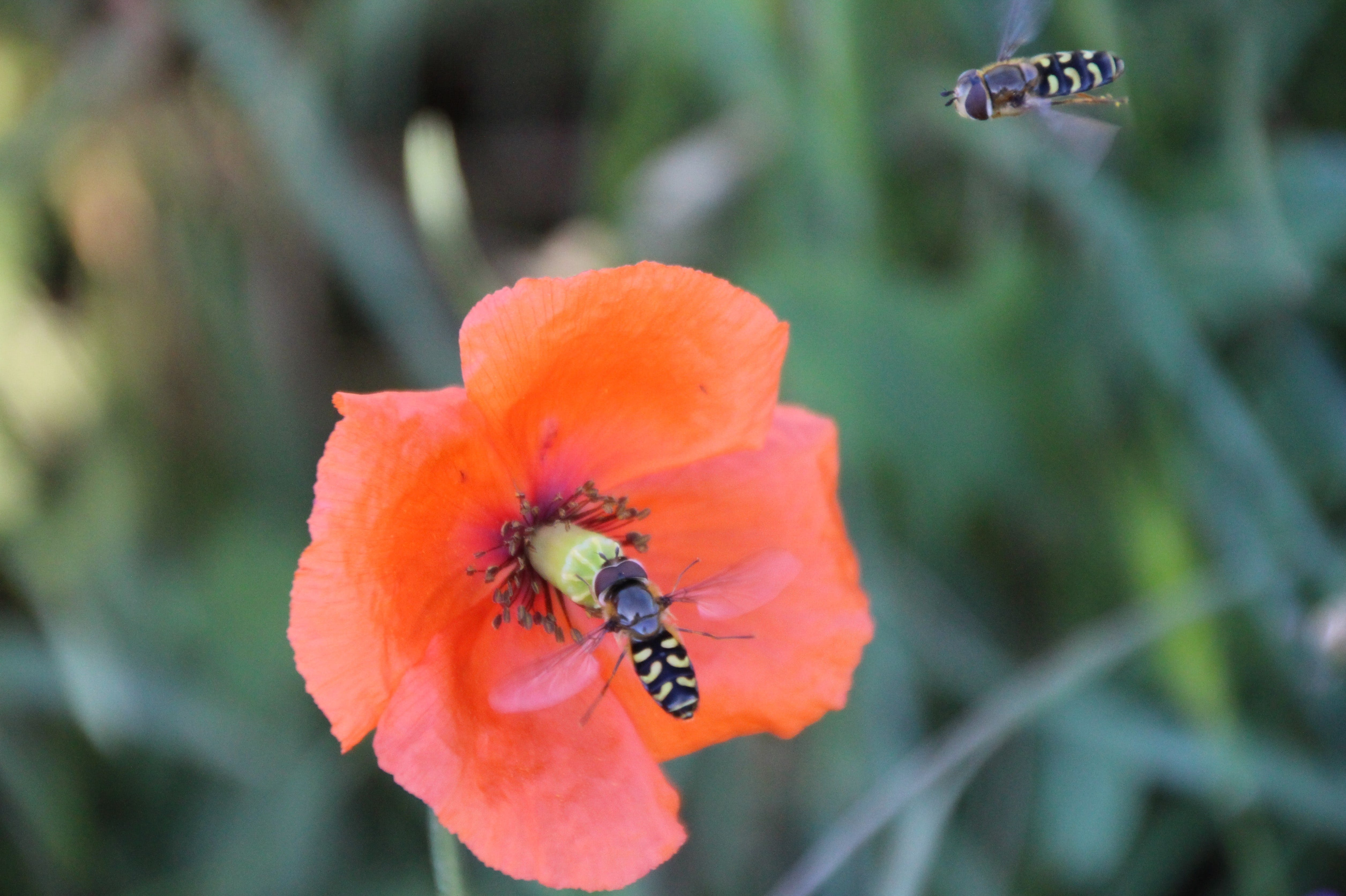 Two Flying Hover Bee Flies Near at Orange Flower