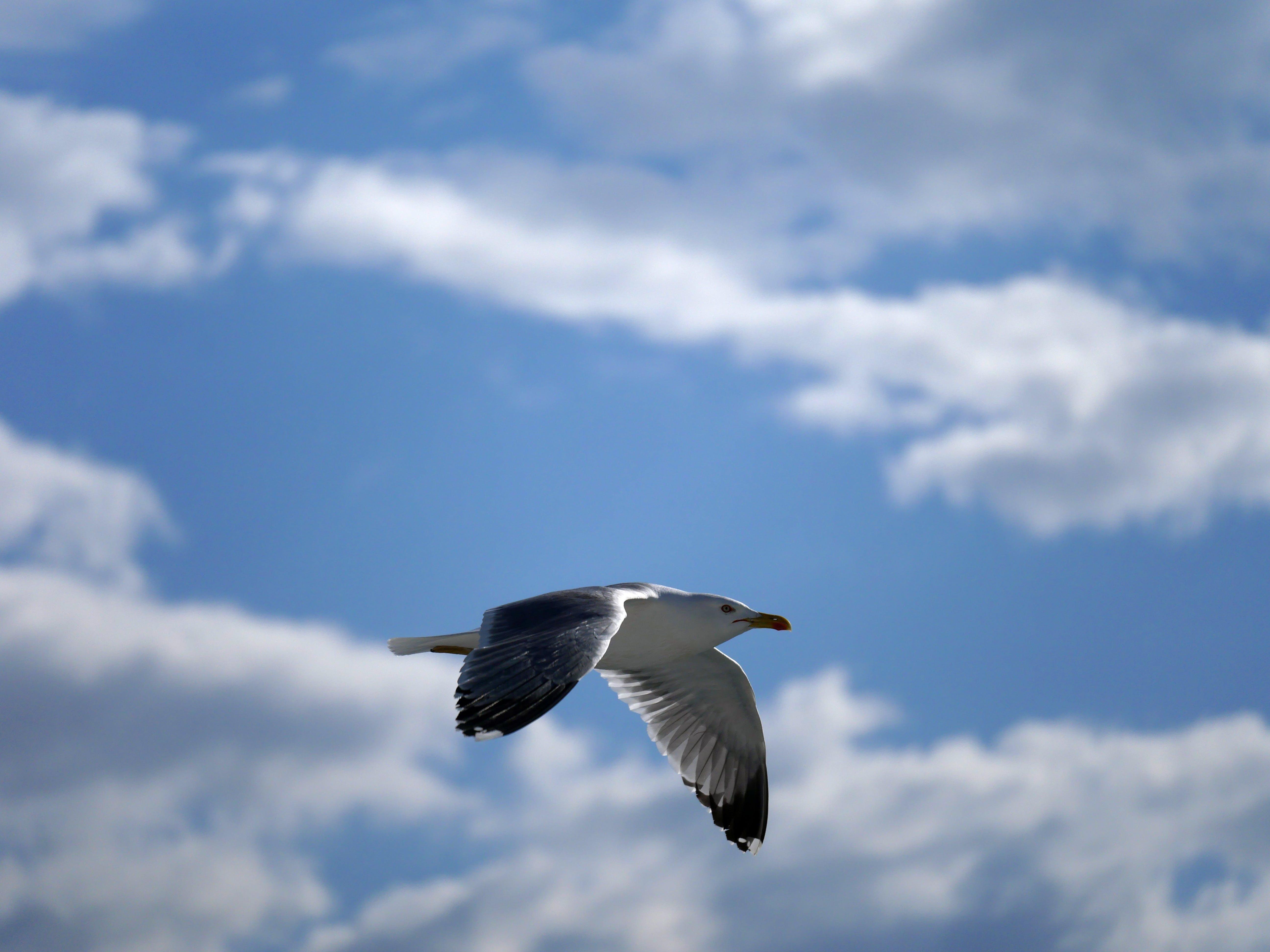 Kostnadsfri bild av blå himmel, dagsljus, djur, fiskmås