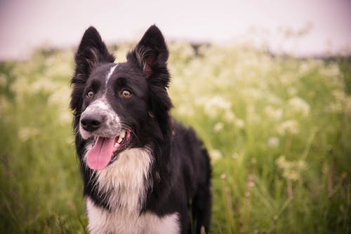Long-coated White and Black Dog Standing on Grasses
