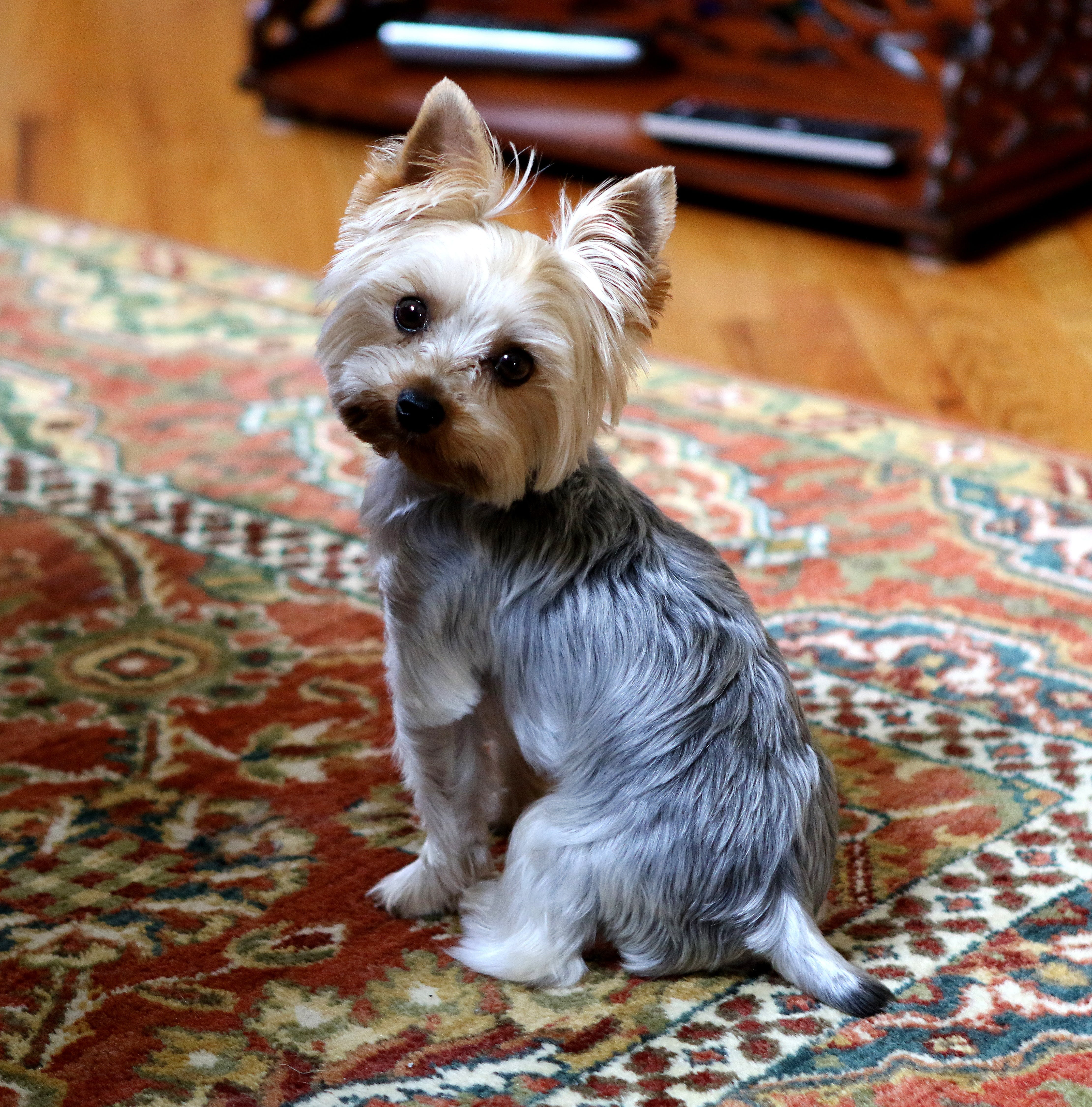 Selective Focus Photography of Yorkshire Terrier