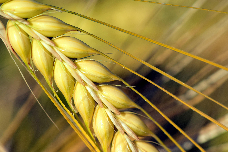 agriculture, barley, barley field