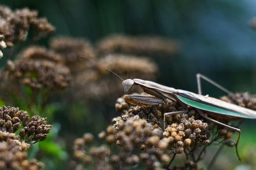 Mantis exploring dry plants on summer day