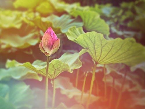 Foto d'estoc gratuïta de 'lotus indi', Asiàtic, brot