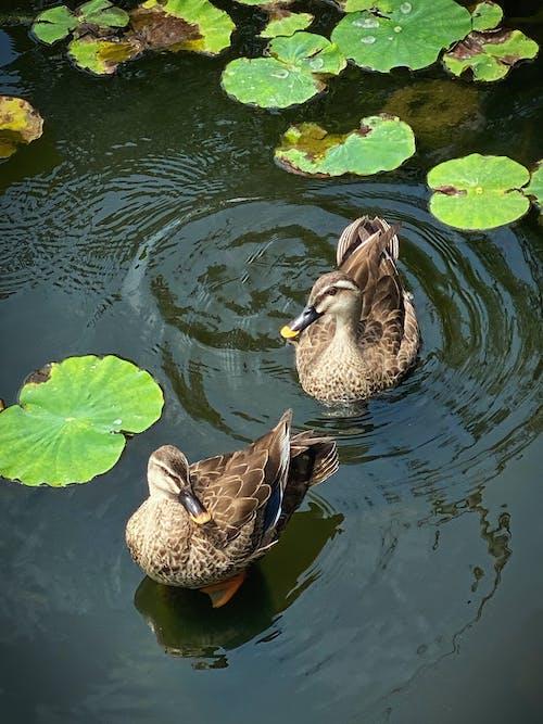 Foto d'estoc gratuïta de aiguamolls, amb plomes, anas acuta