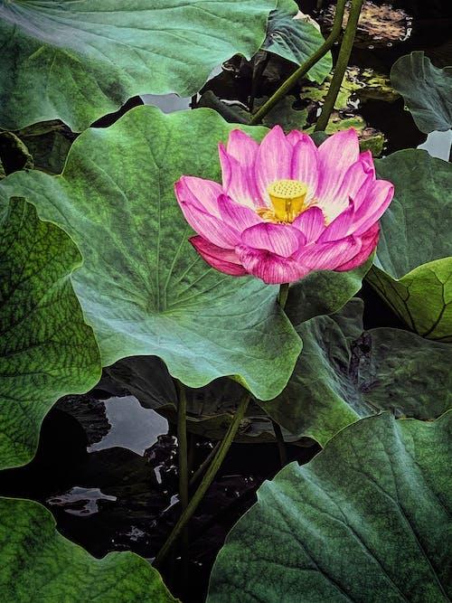 'hint lotus', Asyalı, bitki örtüsü içeren Ücretsiz stok fotoğraf