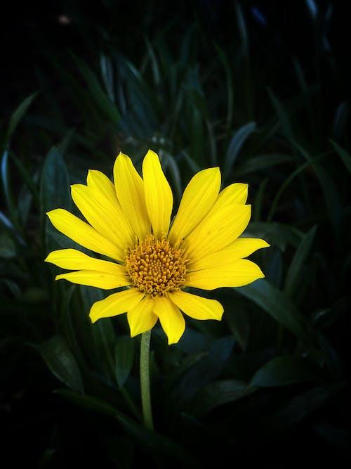 Fotos de stock gratuitas de amarillo, flor, flor de jardín