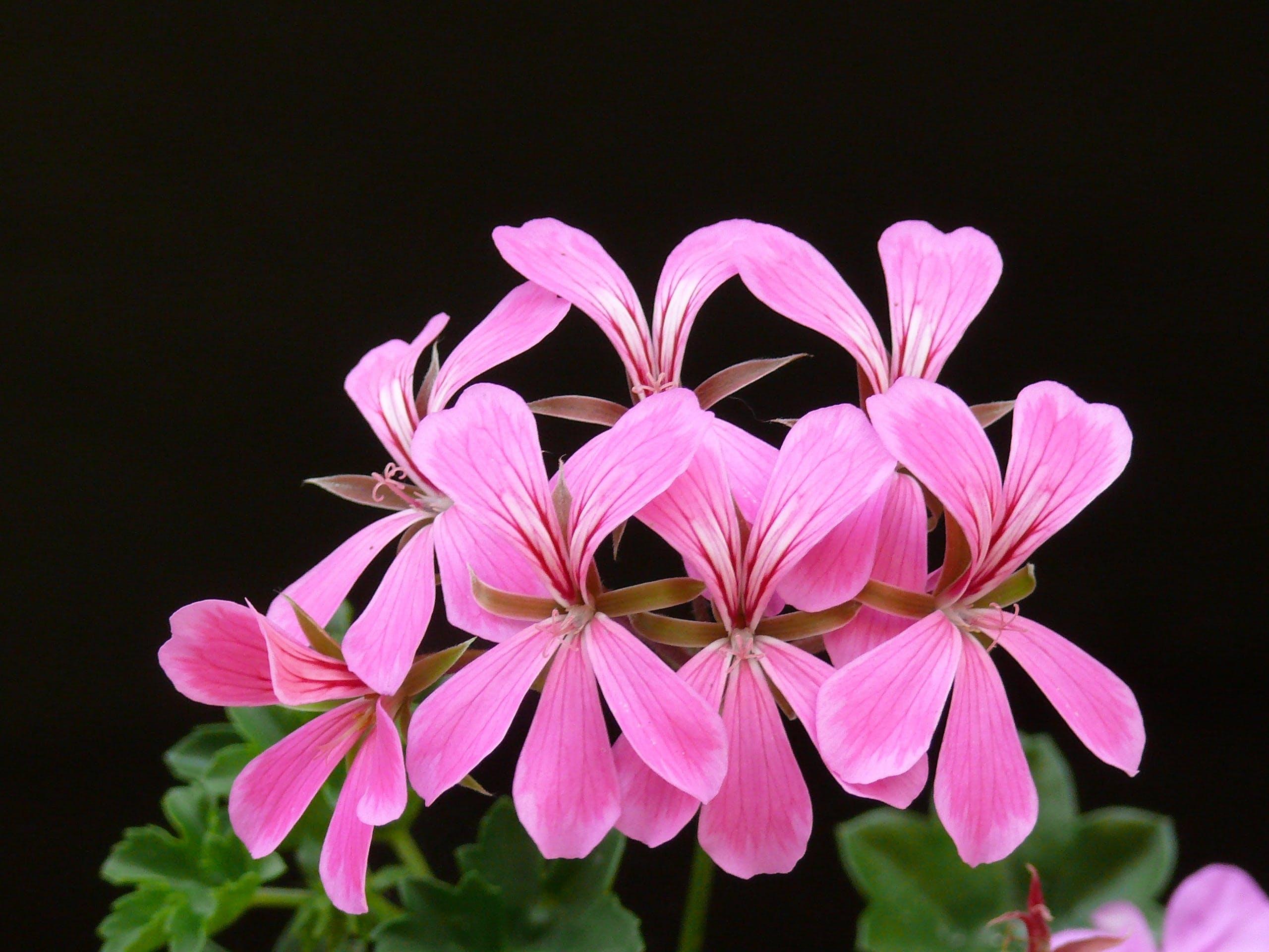 bloom, blossoms, cascading geranium
