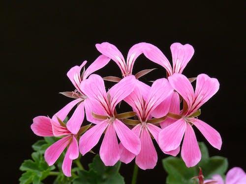 basamaklı sardunya, çiçek, Çiçek açmak, çiçekler içeren Ücretsiz stok fotoğraf
