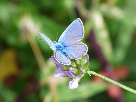 Free stock photo of flower, butterfly, polyommatus icarus, blue butterfly