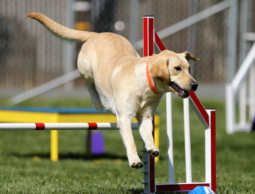Selective Focus Photography of Tan Dog Jumping White and Red Fence