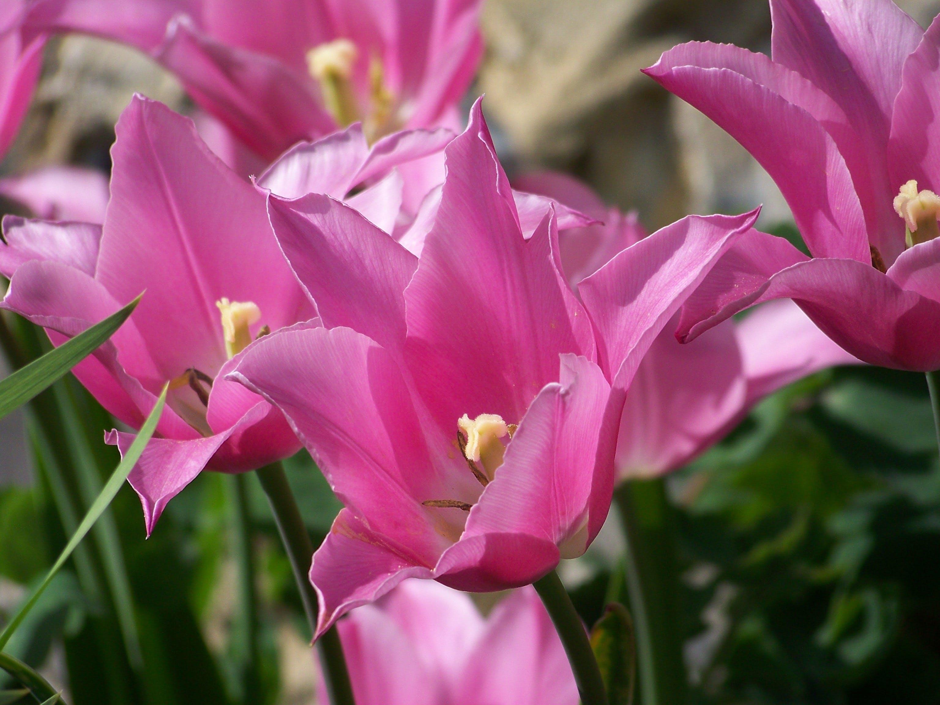 Foto stok gratis alam, bunga, bunga tulip, flora