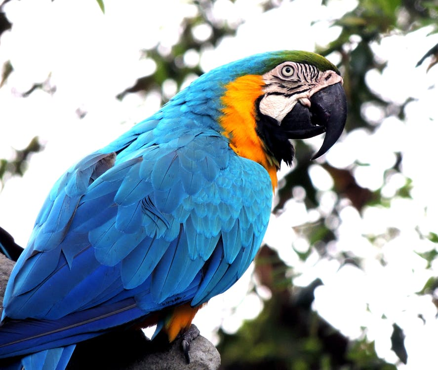 Blue and Orange Parrot on Branch