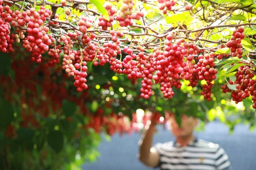 Gardener harvesting ripe grapes in garden