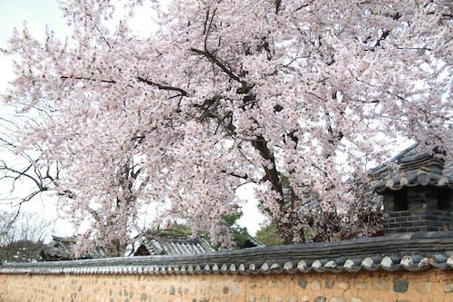 Blooming tree of sakura growing near stone building