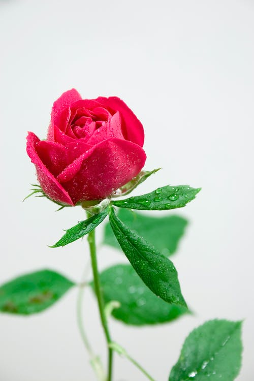 Red bud of rose with small waterdrops